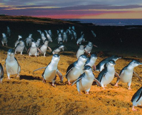 penguins-phillip-island-2-reves-australie
