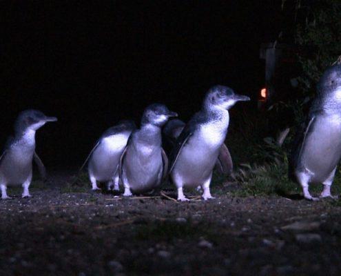 Pingouin-tour-bicheno